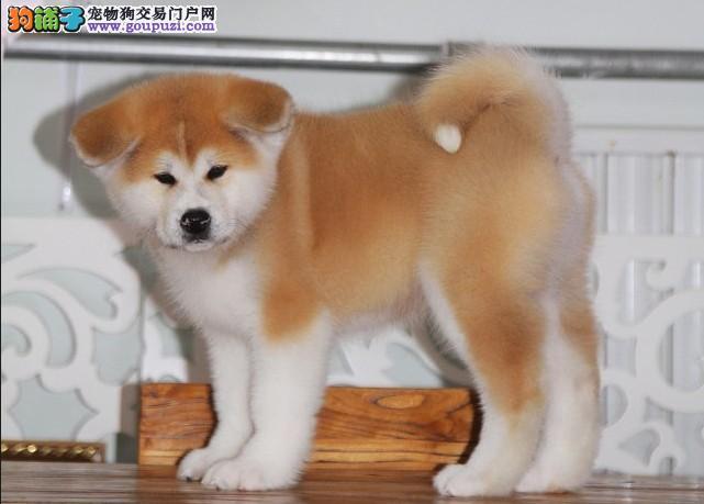纯种秋田犬幼犬正规犬舍专业繁殖 疫苗齐