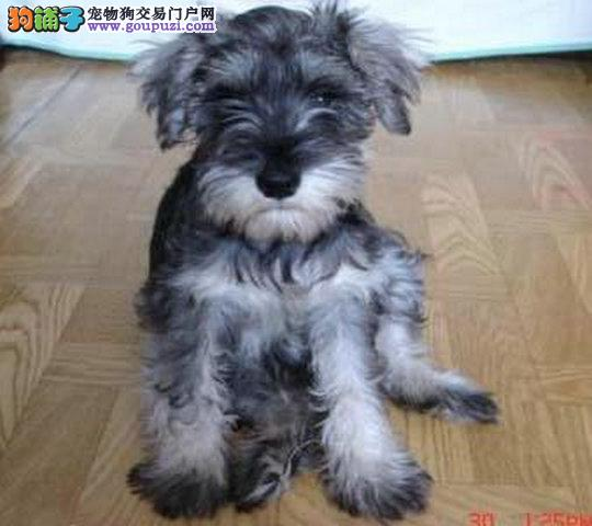 纯种雪纳瑞幼犬正规犬舍专业繁殖 疫苗齐