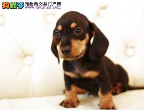 纯种腊肠幼犬正规犬舍专业繁殖 疫苗齐