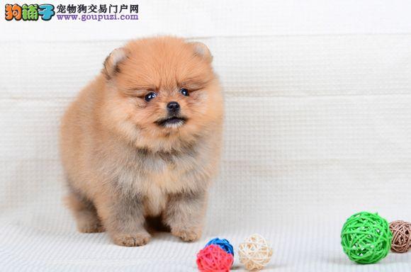 纯种博美幼犬正规犬舍专业繁殖 疫苗齐