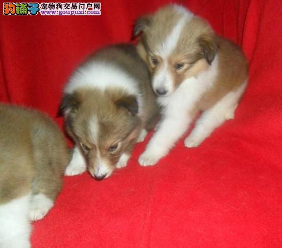 纯种苏格兰牧羊犬幼犬正规犬舍专业繁殖 疫苗齐