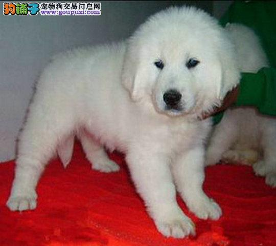 纯种大白熊幼犬正规犬舍专业繁殖 疫苗齐