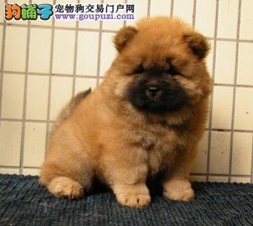 纯种松狮幼犬正规犬舍专业繁殖 疫苗齐