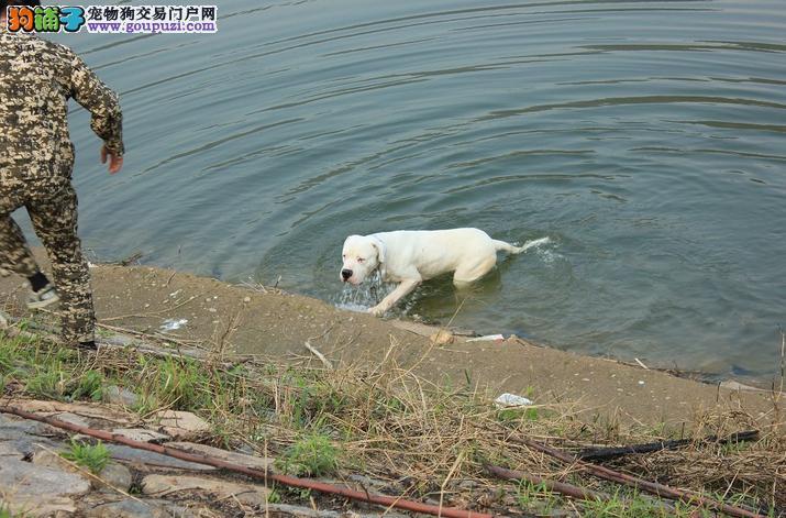 纯种杜高幼犬正规犬舍专业繁殖 疫苗齐