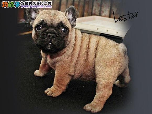 纯种法国斗牛犬幼犬正规犬舍专业繁殖 疫苗齐