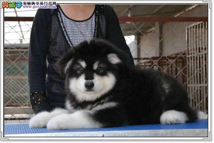 纯种阿拉斯加幼犬正规犬舍专业繁殖 疫苗齐