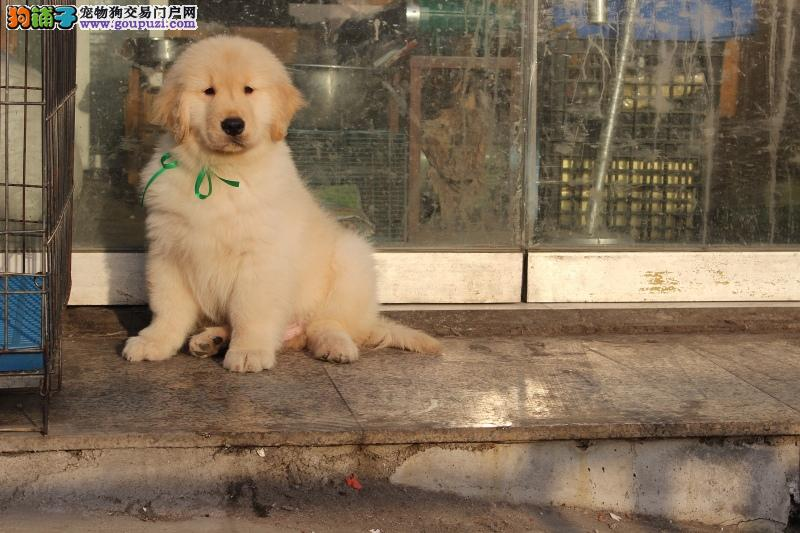 纯种金毛幼犬正规犬舍专业繁殖 疫苗齐