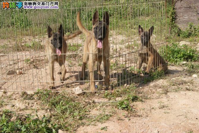 纯种马犬幼犬正规犬舍专业繁殖 疫苗齐