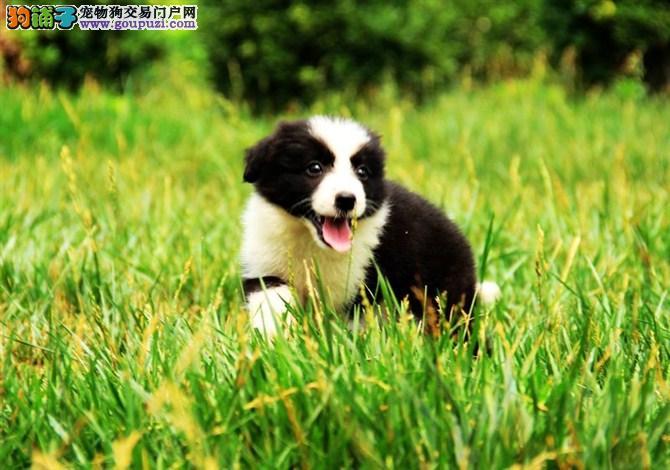 纯种边境牧羊犬幼犬正规犬舍专业繁殖 疫苗齐