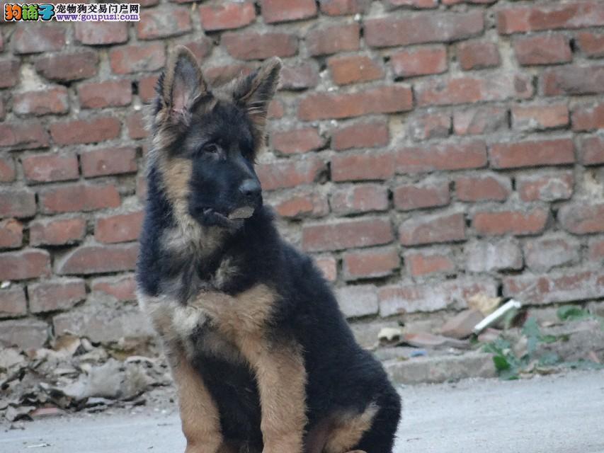 纯种狼犬幼犬正规犬舍专业繁殖 疫苗齐
