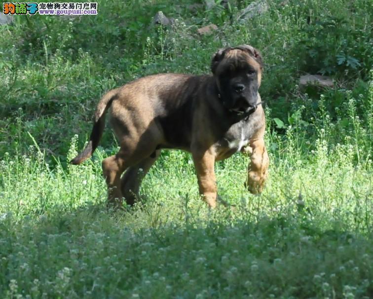精品卡斯罗幼犬 血统好品相好 低价位 购犬可签协议