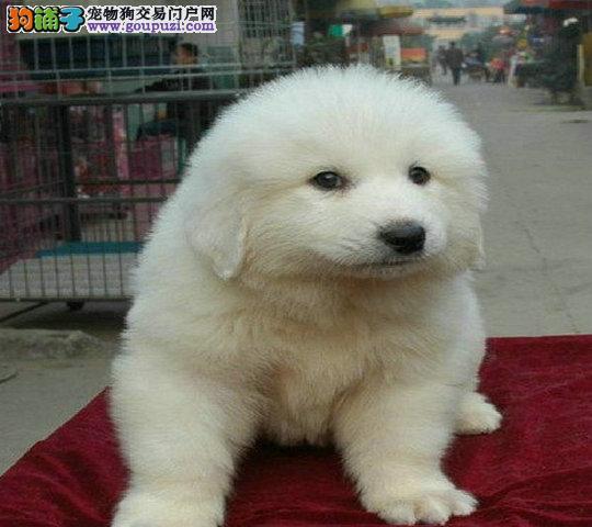 狗场直销纯种大白熊 毛色好骨量足 七窝挑选实物如图