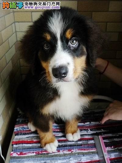 瑞士伯恩山犬 三窝可选 纯种带证书 质保三年