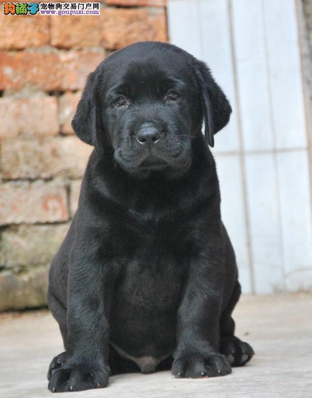 专业繁殖、宠物级拉布拉多犬、赛级拉布拉多、支持送货