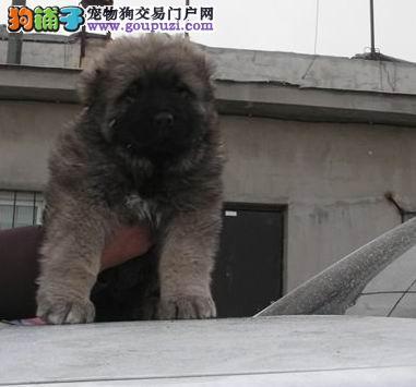 纯种高加索犬高加索幼犬正规犬舍专业繁殖 疫苗齐
