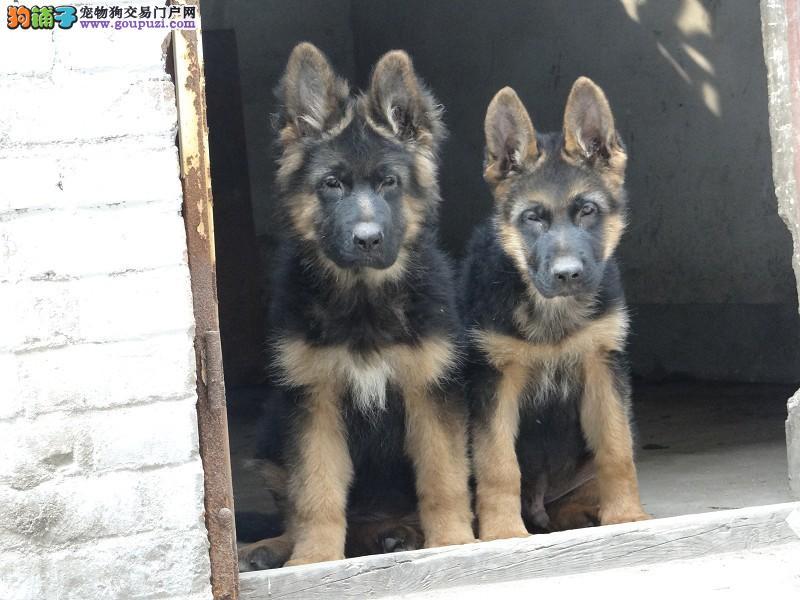 纯种狼狗幼犬正规犬舍专业繁殖 疫苗齐