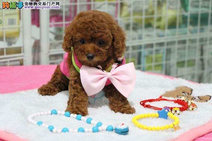 纯种韩系泰迪熊 茶杯、玩具 可爱至极 购买可签