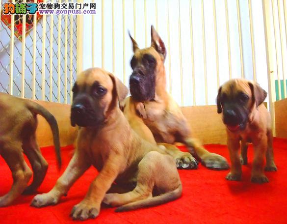 吐鲁番出售极品大丹犬幼犬完美品相诚信经营三包终身协议