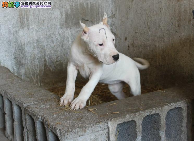 纯种杜高犬杜高幼犬正规犬舍专业繁殖 疫苗齐