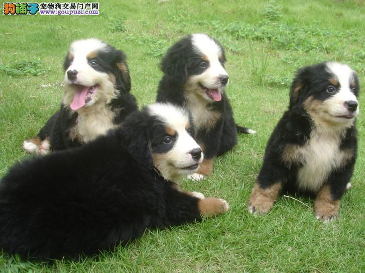 纯种伯恩山幼犬正规犬舍专业繁殖 疫苗齐