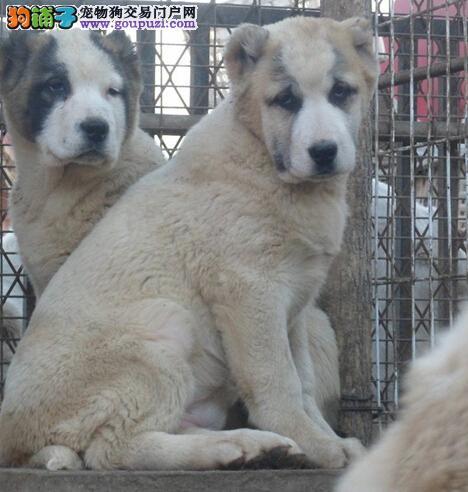 出售纯种中亚牧羊犬幼犬 公母都有 疫苗已做健康保证