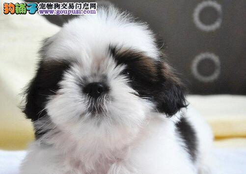 西施犬专业养殖中心,犬舍规模大 种犬均是冠军级名犬