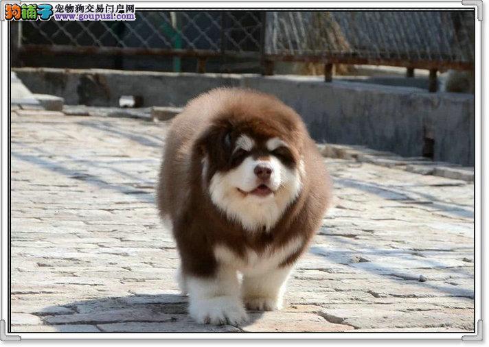 阿拉斯犬图片图拍 阿拉价格有折扣 包纯种签协议