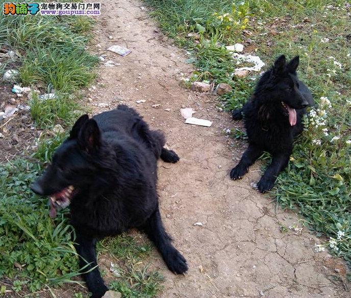 超可爱纯种比利时牧羊犬宝宝请上门挑选狗狗/包健康