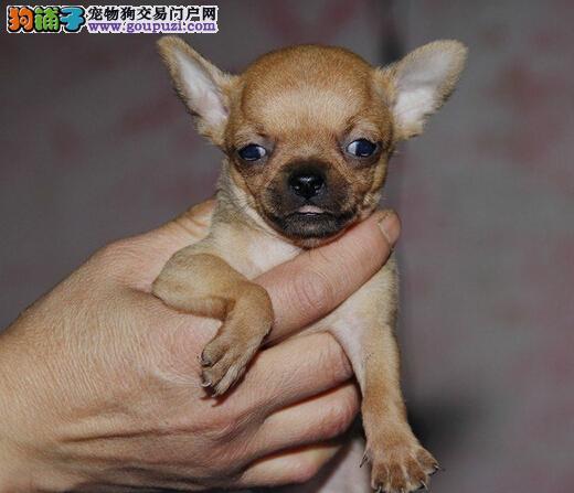吉娃娃幼犬 保证纯种健康、签订活体协议、可见狗父母