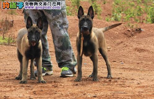 昆明犬幼犬,骨架大品相好,纯种健康公母多只挑选