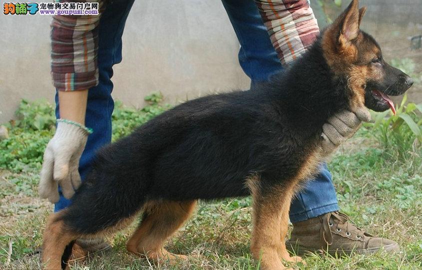 精品墨界黑狼犬,黑狼幼犬出售
