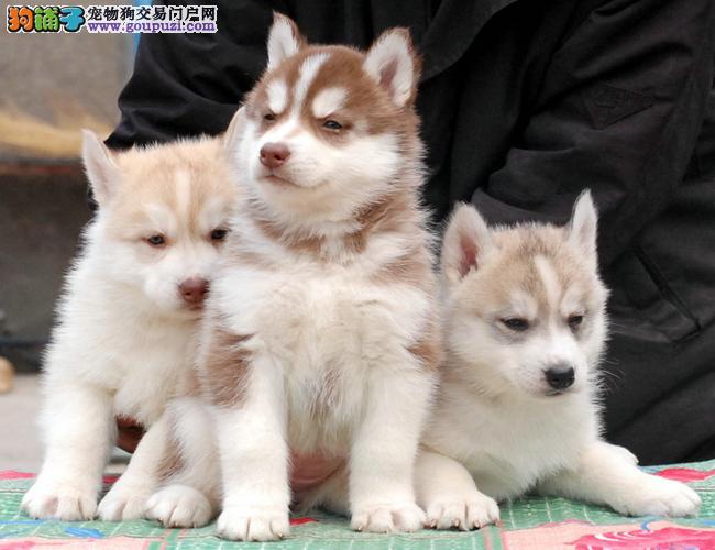 直销纯种哈士奇幼犬 雪橇犬 三把火蓝眼哈士奇犬宠物狗