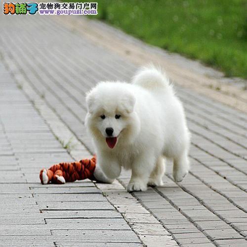 萨摩耶 纯种幼犬 活体宠物狗 支持支付宝全国发货