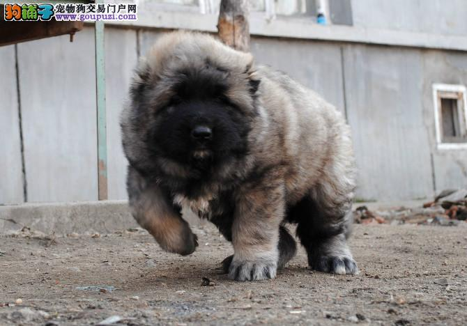 俄系高加索犬出售 狼青色高加索犬骨骼大 毛量足
