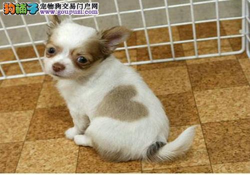长不大吉娃娃 吉娃娃幼犬出售 小型犬宠物狗狗