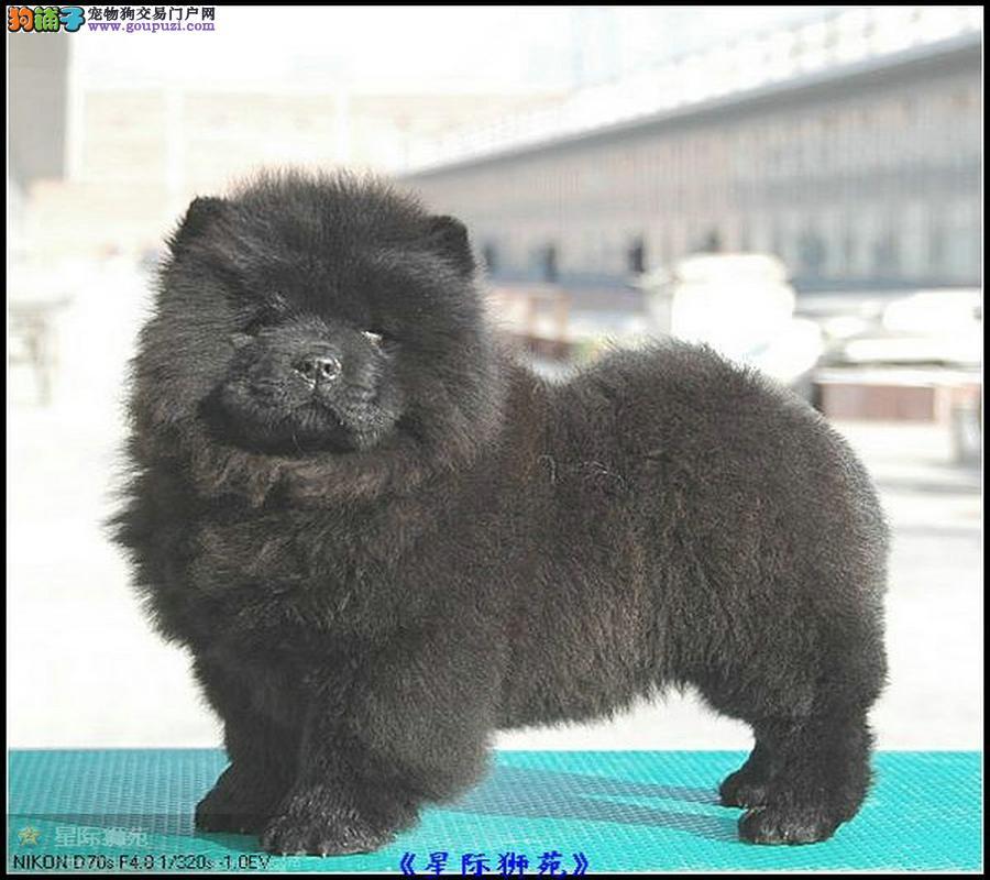 出售肉嘴松狮犬 松狮狗 迷你松狮犬 松狮犬纯种幼犬