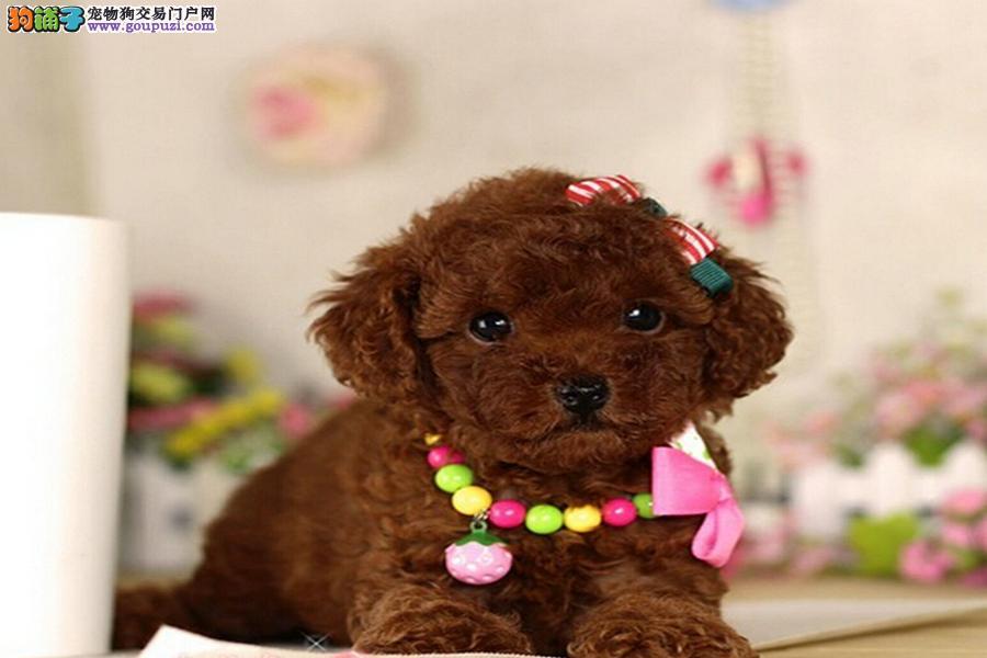 长不大泰迪犬 红贵宾 泰迪幼犬出售 袖珍迷你茶杯犬