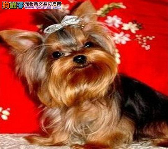 金头银背约克夏幼犬 ,签质保协议 ,保健康终身