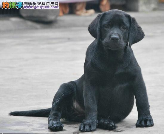 出售纯种拉布拉多犬幼犬导盲犬神犬小七 拉布拉多