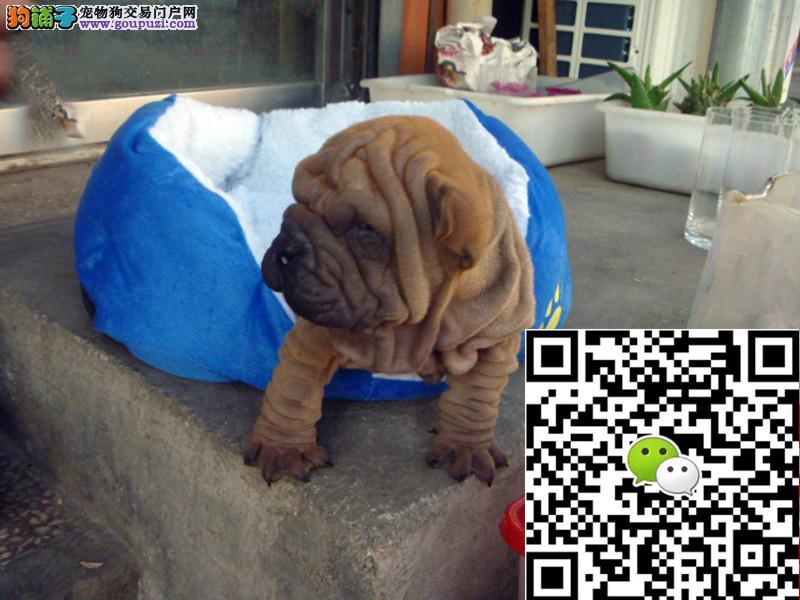 上海沙皮狗多少钱一只上海沙皮犬哪里卖