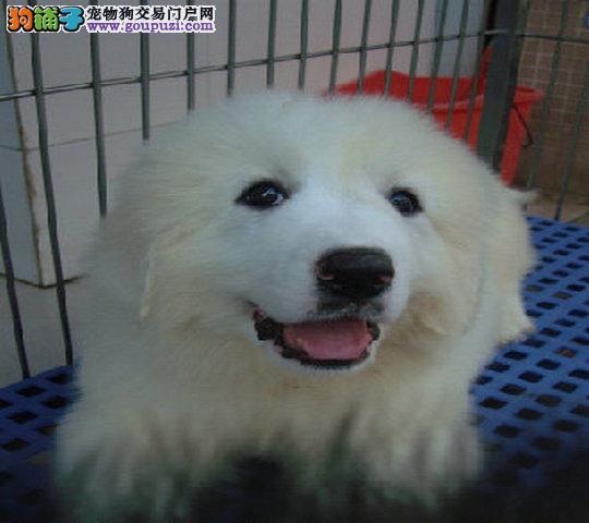 大白熊幼犬 赛级血统 品相纯正 保证健康