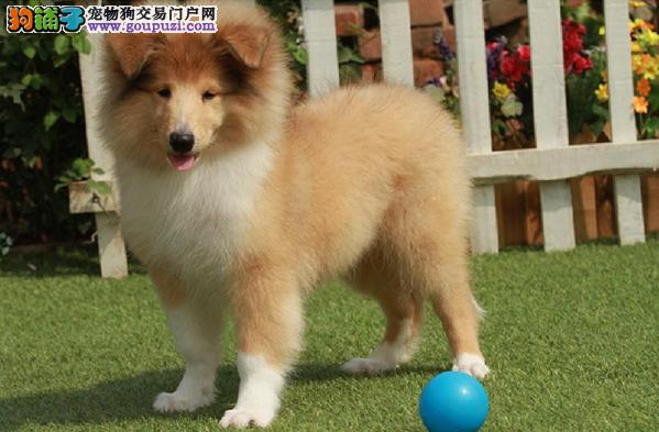 极品纯正的武汉苏牧幼犬热销中全国十佳犬舍