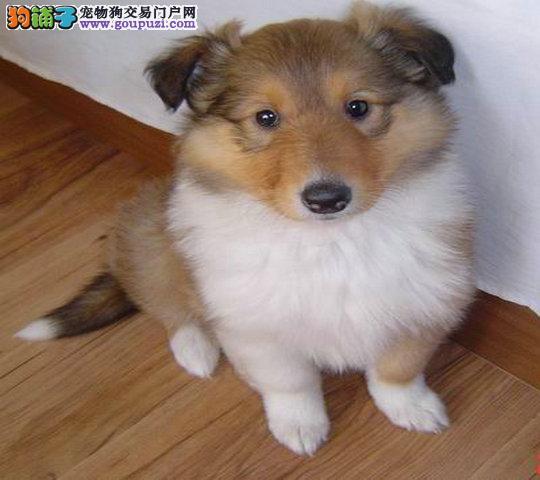 武汉出售极品苏牧幼犬完美品相签正规合同请放心购买