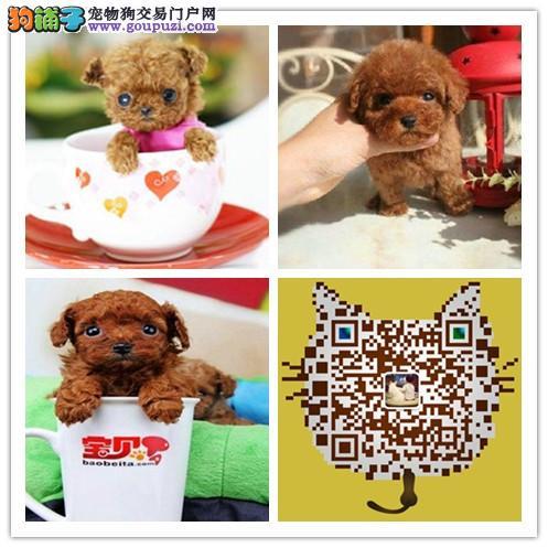 极品微小茶杯犬 高品质毛色毛量极佳茶杯犬
