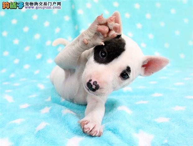 正规基地繁殖出售牛头梗幼犬 可签订协议 保纯种健康