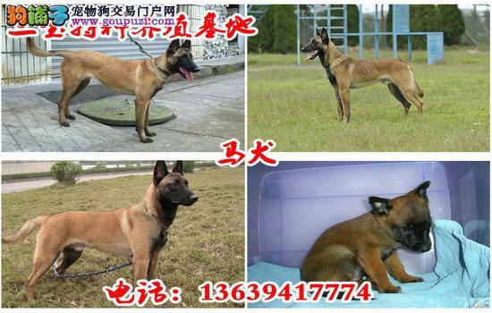 狼青犬价格罗威纳犬犬多少钱一只罗威纳犬狗崽多少钱