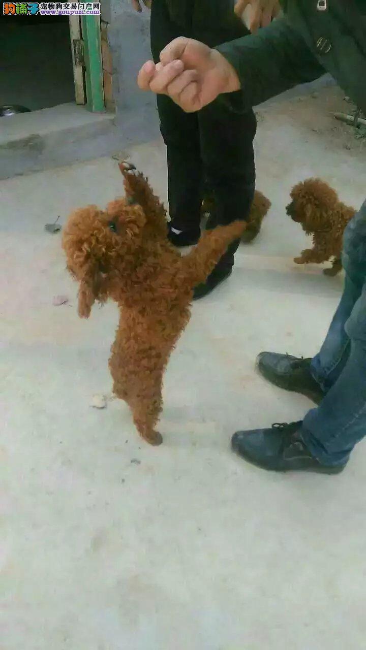 山西哪里卖泰迪犬小泰迪犬多少钱山西有卖小泰迪的吗
