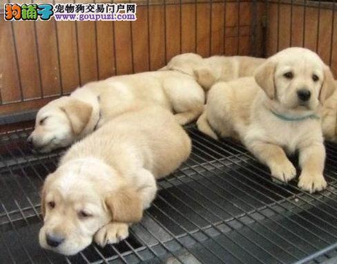 安徽出售两个月纯种黄色拉布拉多幼犬