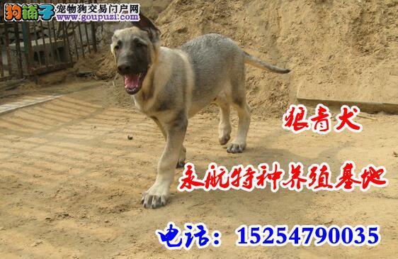 江西出售纯种马犬精品马犬价格