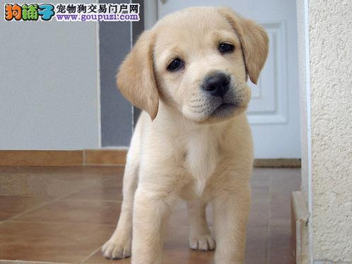 江西哪里出售拉布拉多犬纯种价格